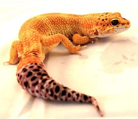 leopard geckos basic care leopard gecko arizona exotics lizards resources