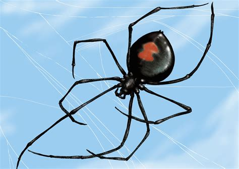 Phoenix Black Widow Spider And How To Prevent Bites
