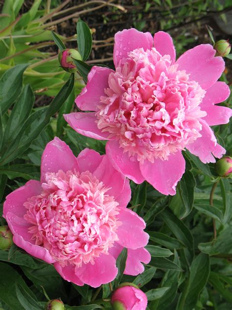 pictures of peonies peony color the dirt