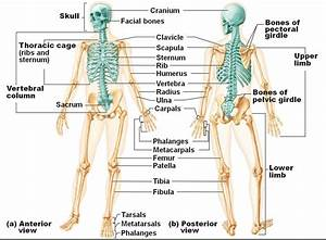 Image Result For Axial Skeleton Anatomy Labeled