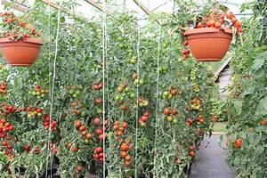 Wann Tomaten Pflanzen : tomatengew chshaus expertentipps f r anpflanzen und pflege ~ Frokenaadalensverden.com Haus und Dekorationen