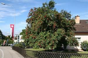 Eberesche Im Garten : eberesche ~ Yasmunasinghe.com Haus und Dekorationen