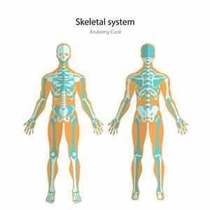 Human Skeleton Front And Back  U2014 Stock Vector  U00a9 Aliencat