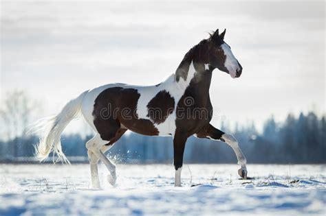 beautiful horse trot   snow  field  winter stock