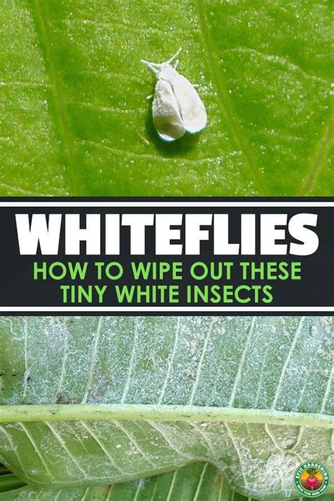 whiteflies wipe   tiny white insects  good