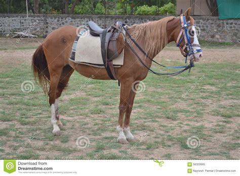 horse kathiyawadi riding ahmedabad gujarat india owner breed most editorial belongs popular students