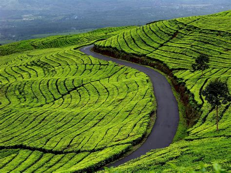 perkebunan teh kayu aro jambi perkebunan terbesar kedua