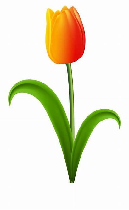 Tulip Orange Clip Clipart Transparent Tulips Vippng
