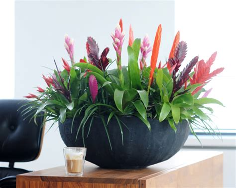 in door plants pot three four plants argements modern classic bromeliad bromelia