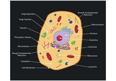 Diagram Part Of A Cell by A Labeled Diagram Of The Animal Cell And Its Organelles