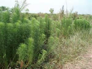 Wild Dill Plant