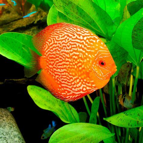 discus couleurs vari 233 s 233 levage poissons et invert 233 br 233 s d eau douce autres marques animalerie