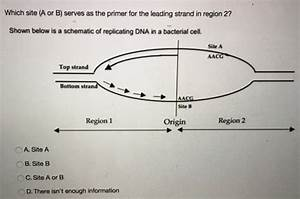 30 The Diagram Below Shows A Bacterial Replication Fork