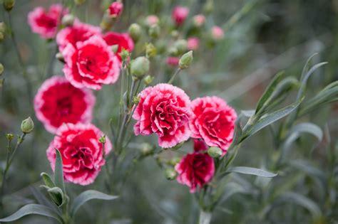 nelken pflanzen pflegen vermehren und mehr