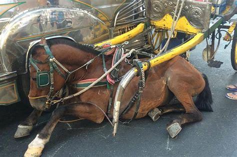horse leg broken bus hit being manila injured abs suffers carlo lies