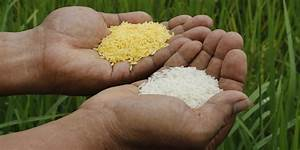Genetically Modified Golden Rice Not The Cure