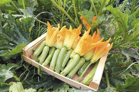 coltivare in vaso come coltivare le zucchine in vaso sul balcone non sprecare
