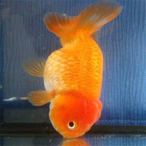 swim bladder disease 5 common aquarium fish diseases and their cure home aquaria