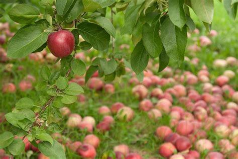 Aepfel Richtig Ernten Und Wie Lagern by 196 Pfel Richtig Ernten Lagern Hilfreiche Tipps Plantura