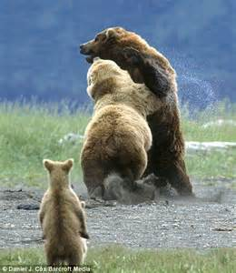 Grizzly Mother Bear Protecting Cubs