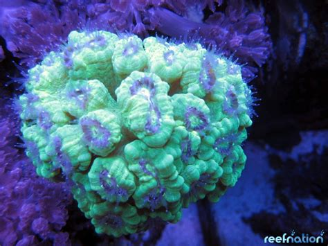 Pics Of Neon Green Lps Corals Reef Nation