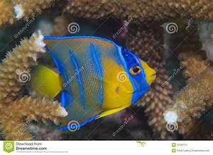 Juvenile Queen Angelfish-Holocanthus Ciliaris Stock Image ...