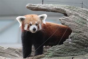 Få øje på Red Panda Singapore Zoo