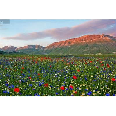 Flowery Valleys in the Village of Castelluccio Italy
