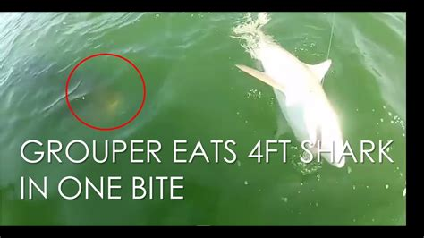 grouper shark eats bite
