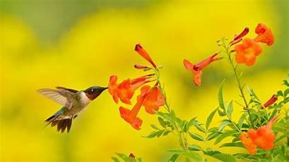 Yellow Bells Bing Hummingbird Texas Country Ruby