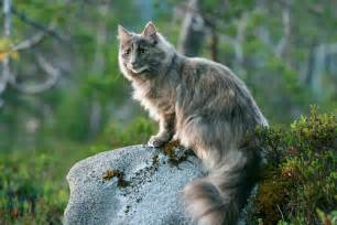 forest cats for forest cat our cat siri a mixed race cat but