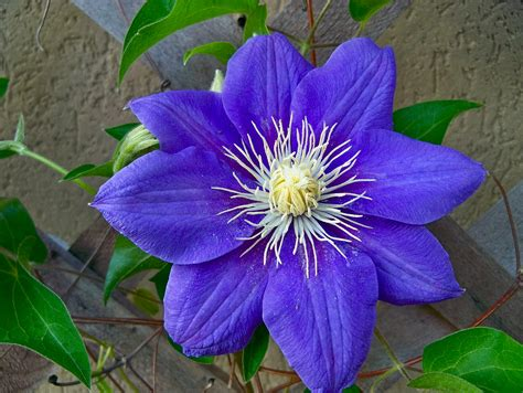 a picture of a flower beautiful purple clementines in bloom attracting wellness