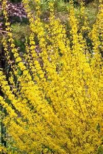 Schmucklilie überwintern Gelbe Blätter : goldgl ckchen forsythia strauch gelb bl hend 1 pflanze ~ Eleganceandgraceweddings.com Haus und Dekorationen