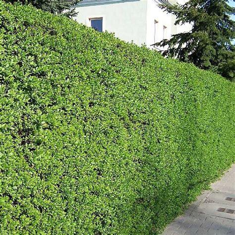 privet hedge ligustrum vulgare wild privet hedging