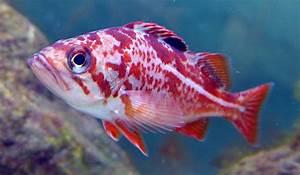 Canary Rockfish - vic high