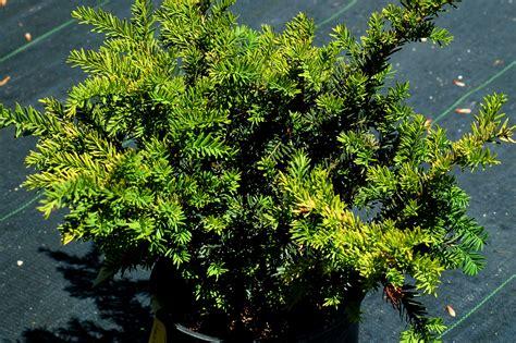 prune evergreen shrubs timing differs  type