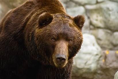 Bear Brown Short Faced Kamchatka Giant Eastern