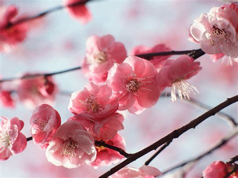 cherry blossom plants cherry tree in bloom www imgkid com the image kid has it