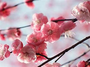 The Best Cherry Trees For Early Blossom