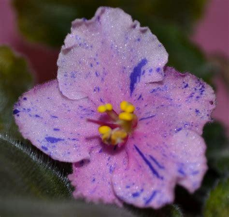 Flower African Violet Plants