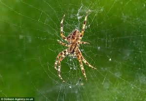 Clusters Of Baby Yellow Spiders Spotted Up And Down The