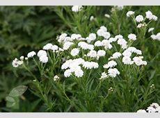 Buy sneezewort Achillea ptarmica 'The Pearl Group The
