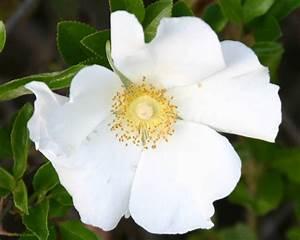 Georgia State Flower ..... | USA State Flowers | Pinterest