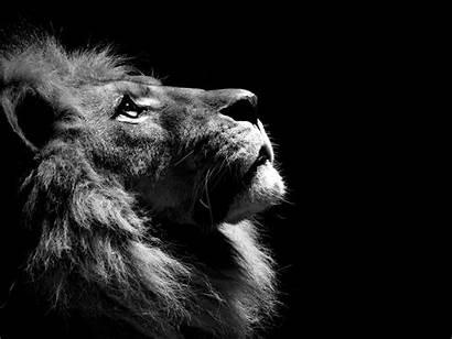 Lion Wallpapers Pixelstalk