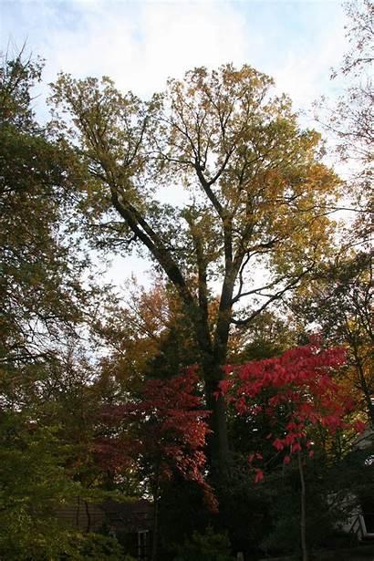 Oak Thick Trees Does Older Delaware Delawaretrees
