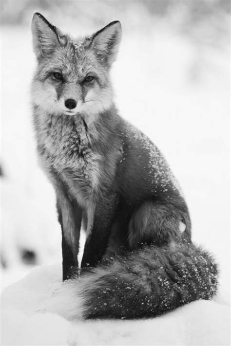 Information About Baby Fox Black And White Yousense Info