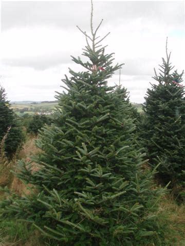 real fraser fir christmas trees freshly cut scottish christmas trees