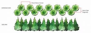 Grow Guide For Thuja Green Giant Arborvitea
