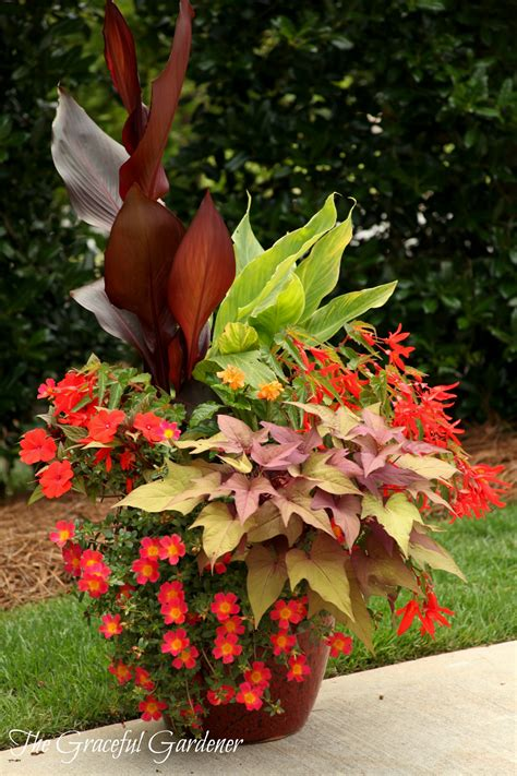 graceful containers ingredients canna australia canna tropicanna gold infinity orange