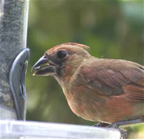 when do cardinals lay eggs s acres cardinals